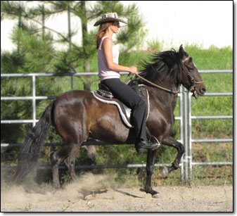 Paso Fino Gelding, General de Isabel, under saddle.